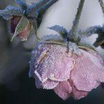 Frosne roser